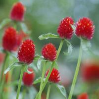 Gomphrena Strawberry Fields